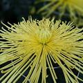 Photos: 花火みたいな菊