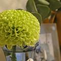 写真: ピンポン菊