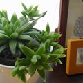写真: ハオルシア・オブツーサ(多肉植物)