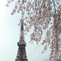 Photos: 枝垂れ桜@増上寺