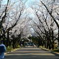府中の森公園@桜
