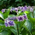 金平糖/紫陽花