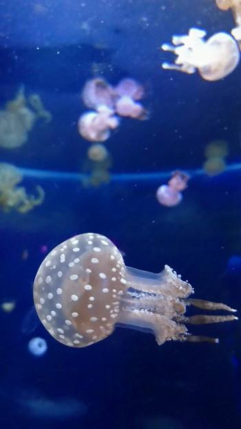 Photos: クラゲ@新江ノ島水族館