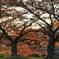 Photos: 桜並木も