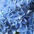 写真: 青い華