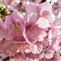 桜シャワー2