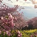 照らされて、桜