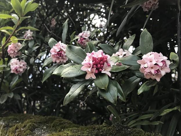 雨の沈丁花