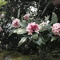 Photos: 雨の沈丁花