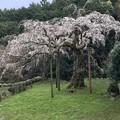 写真: 340年の桜