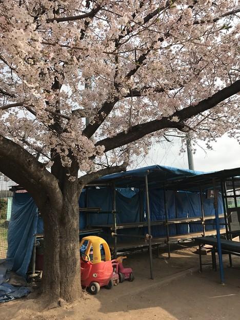 Photos: ブッブーと桜