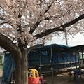 ブッブーと桜