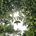 Photos: 森の太陽
