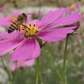 Photos: 蜂とコスモス