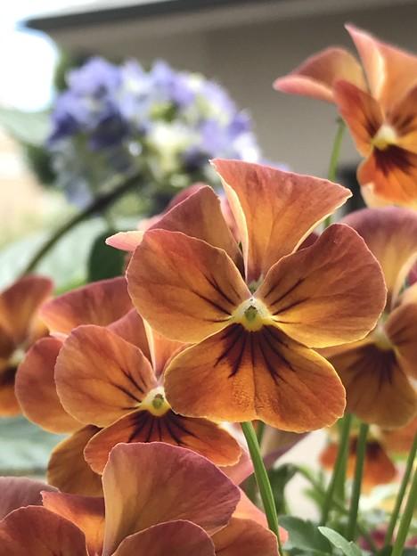 夕焼け色の花