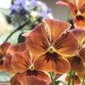 Photos: 夕焼け色の花