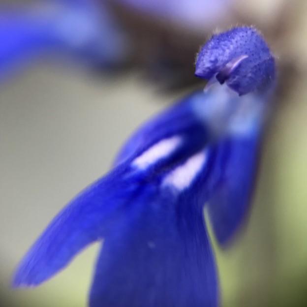 Photos: 青い妖精