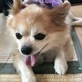 Photos: 紫のハンカチ