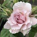 奇跡の薔薇ならず