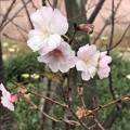 Photos: 白秋八重桜