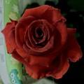 Photos: 真紅の薔薇