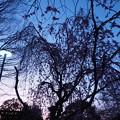 Photos: 夜明けと枝垂桜1