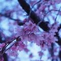 Photos: 夜明けと枝垂桜2