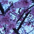 Photos: 夜明けと枝垂桜6