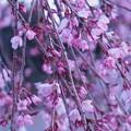 Photos: 夜明けと枝垂桜7