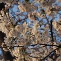 Photos: 朝日の中のソメイヨシノ1