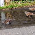 鳩ぽっぽの行水