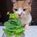 白菜咲いた♪