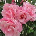 薔薇園見て周り