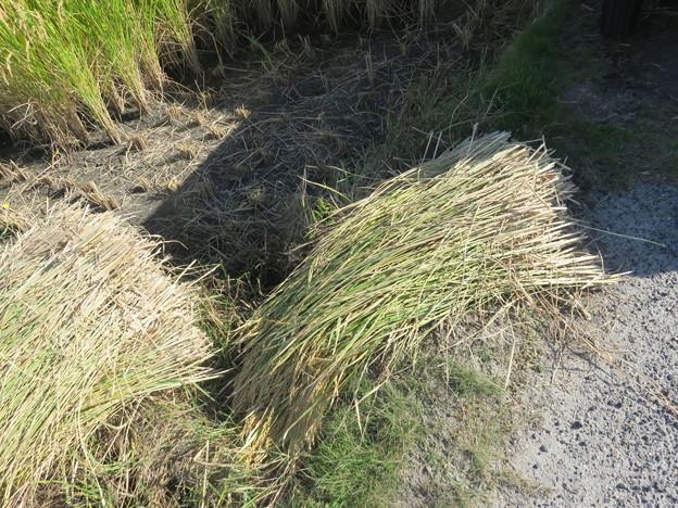 写真: 田圃の隅手刈り