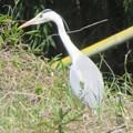 Photos: 大きな白鷺