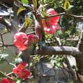 今年のボケの花