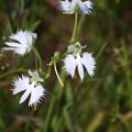 ヒイゴ池湿原の鷺草