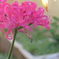 Photos: プランタ-の花