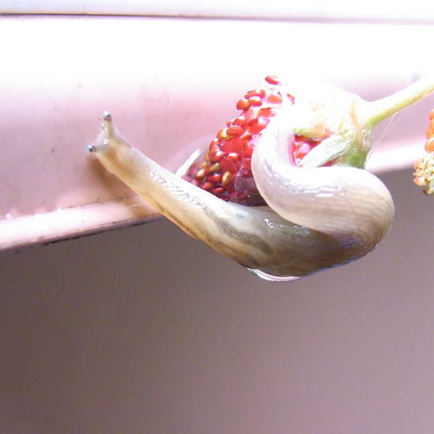 【園芸】ナメクジがイチゴを食べてる・・・ 2017年[梅雨]