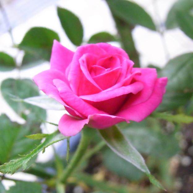 【園芸】ピンクのミニバラ|2017年[梅雨]