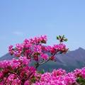 写真: ミヤマキリシマ a