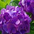 紫陽花 ア