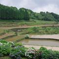 写真: 棚田と紫陽花