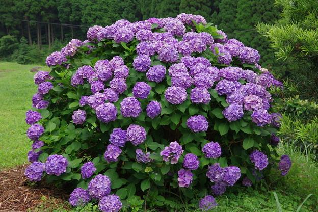 棚田の紫陽花
