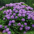 写真: 棚田の紫陽花