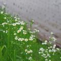 写真: 姫女苑 b