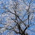 エドヒガン桜 c