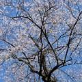 エドヒガン桜 d