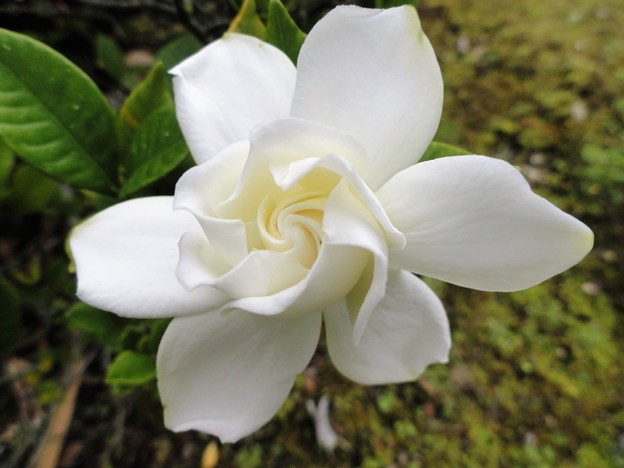 クチナシの花 b