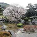 庭園の山桜